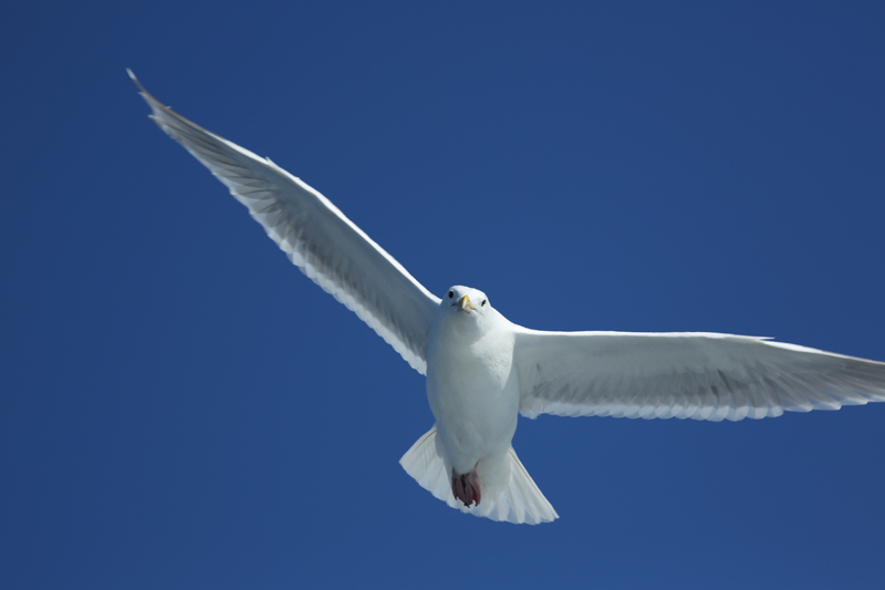 Glaucous-Wingled Gull